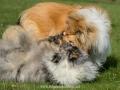 Hundemaedchen_Gaia_Langhaarcollie_Collie_Rough_Hundefreunde_Dasan_Brite_Ami_Treffen_Spaziergang (102)