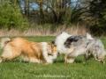 Hundemaedchen_Gaia_Langhaarcollie_Collie_Rough_Hundefreunde_Dasan_Brite_Ami_Treffen_Spaziergang (13)