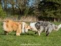 Hundemaedchen_Gaia_Langhaarcollie_Collie_Rough_Hundefreunde_Dasan_Brite_Ami_Treffen_Spaziergang (14)