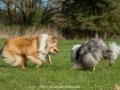 Hundemaedchen_Gaia_Langhaarcollie_Collie_Rough_Hundefreunde_Dasan_Brite_Ami_Treffen_Spaziergang (15)