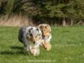 Hundemaedchen_Gaia_Langhaarcollie_Collie_Rough_Hundefreunde_Dasan_Brite_Ami_Treffen_Spaziergang (34)