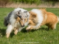 Hundemaedchen_Gaia_Langhaarcollie_Collie_Rough_Hundefreunde_Dasan_Brite_Ami_Treffen_Spaziergang (49)