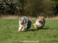Hundemaedchen_Gaia_Langhaarcollie_Collie_Rough_Hundefreunde_Dasan_Brite_Ami_Treffen_Spaziergang (56)