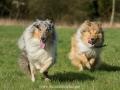 Hundemaedchen_Gaia_Langhaarcollie_Collie_Rough_Hundefreunde_Dasan_Brite_Ami_Treffen_Spaziergang (59)