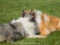 Hundemaedchen_Gaia_Langhaarcollie_Collie_Rough_Hundefreunde_Dasan_Brite_Ami_Treffen_Spaziergang (63)
