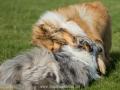 Hundemaedchen_Gaia_Langhaarcollie_Collie_Rough_Hundefreunde_Dasan_Brite_Ami_Treffen_Spaziergang (67)