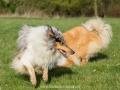 Hundemaedchen_Gaia_Langhaarcollie_Collie_Rough_Hundefreunde_Dasan_Brite_Ami_Treffen_Spaziergang (73)