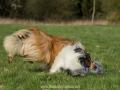 Hundemaedchen_Gaia_Langhaarcollie_Collie_Rough_Hundefreunde_Dasan_Brite_Ami_Treffen_Spaziergang (78)