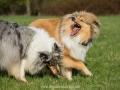 Hundemaedchen_Gaia_Langhaarcollie_Collie_Rough_Hundefreunde_Dasan_Brite_Ami_Treffen_Spaziergang (87)