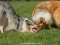 Hundemaedchen_Gaia_Langhaarcollie_Collie_Rough_Hundefreunde_Dasan_Brite_Ami_Treffen_Spaziergang (92)