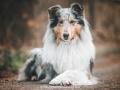 Hundemaedchen_Gaia_Langhaarcollie_52WochenHunde_Projekt2018_Collie (11)