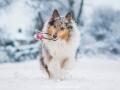 Hundemaedchen_Gaia_Langhaarcollie_52WochenHunde_Projekt2018_Collie (13)