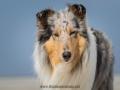 Hundemaedchen_Gaia_Langhaarcollie_52WochenHunde_Projekt2018_Collie (15)