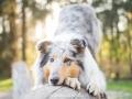 Hundemaedchen_Gaia_Langhaarcollie_52WochenHunde_Projekt2018_Collie (16)