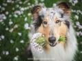 Hundemaedchen_Gaia_Langhaarcollie_52WochenHunde_Projekt2018_Collie (17)