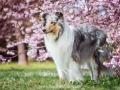 Hundemaedchen_Gaia_Langhaarcollie_52WochenHunde_Projekt2018_Collie (18)