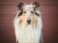 Hundemaedchen_Gaia_Langhaarcollie_52WochenHunde_Projekt2018_Collie (2)