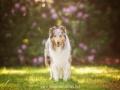 Hundemaedchen_Gaia_Langhaarcollie_52WochenHunde_Projekt2018_Collie (21)