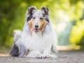 Hundemaedchen_Gaia_Langhaarcollie_52WochenHunde_Projekt2018_Collie (22)