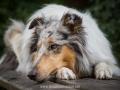 Hundemaedchen_Gaia_Langhaarcollie_52WochenHunde_Projekt2018_Collie (23)