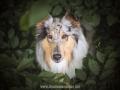 Hundemaedchen_Gaia_Langhaarcollie_52WochenHunde_Projekt2018_Collie (24)
