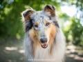 Hundemaedchen_Gaia_Langhaarcollie_52WochenHunde_Projekt2018_Collie (26)