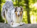 Hundemaedchen_Gaia_Langhaarcollie_52WochenHunde_Projekt2018_Collie (27)