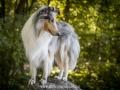 Hundemaedchen_Gaia_Langhaarcollie_52WochenHunde_Projekt2018_Collie (30)