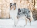 Hundemaedchen_Gaia_Langhaarcollie_52WochenHunde_Projekt2018_Collie (9)