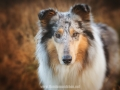 Hundemaedchen_Gaia_Langhaarcollie_52WochenHunde_Projekt2017_Collie (1)