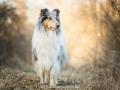 Hundemaedchen_Gaia_Langhaarcollie_52WochenHunde_Projekt2017_Collie (11)