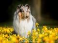 Hundemaedchen_Gaia_Langhaarcollie_52WochenHunde_Projekt2017_Collie (12)