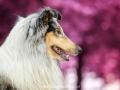 Hundemaedchen_Gaia_Langhaarcollie_52WochenHunde_Projekt2017_Collie (14)
