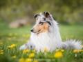 Hundemaedchen_Gaia_Langhaarcollie_52WochenHunde_Projekt2017_Collie (16)