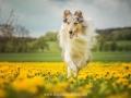 Hundemaedchen_Gaia_Langhaarcollie_52WochenHunde_Projekt2017_Collie (17)