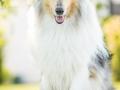 Hundemaedchen_Gaia_Langhaarcollie_52WochenHunde_Projekt2017_Collie (19)