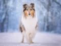 Hundemaedchen_Gaia_Langhaarcollie_52WochenHunde_Projekt2017_Collie (2)