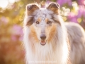 Hundemaedchen_Gaia_Langhaarcollie_52WochenHunde_Projekt2017_Collie (22)