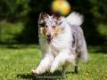 Hundemaedchen_Gaia_Langhaarcollie_52WochenHunde_Projekt2017_Collie (23)