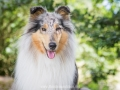 Hundemaedchen_Gaia_Langhaarcollie_52WochenHunde_Projekt2017_Collie (25)