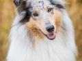Hundemaedchen_Gaia_Langhaarcollie_52WochenHunde_Projekt2017_Collie (26)