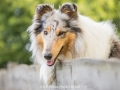 Hundemaedchen_Gaia_Langhaarcollie_52WochenHunde_Projekt2017_Collie (27)