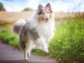 Hundemaedchen_Gaia_Langhaarcollie_52WochenHunde_Projekt2017_Collie (28)