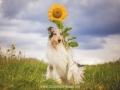 Hundemaedchen_Gaia_Langhaarcollie_52WochenHunde_Projekt2017_Collie (29)