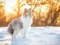 Hundemaedchen_Gaia_Langhaarcollie_52WochenHunde_Projekt2017_Collie (3)