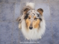 Hundemaedchen_Gaia_Langhaarcollie_52WochenHunde_Projekt2017_Collie (30)