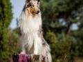 Hundemaedchen_Gaia_Langhaarcollie_52WochenHunde_Projekt2017_Collie (33)