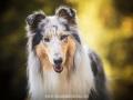 Hundemaedchen_Gaia_Langhaarcollie_52WochenHunde_Projekt2017_Collie (35)