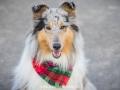Hundemaedchen_Gaia_Langhaarcollie_52WochenHunde_Projekt2017_Collie (37)