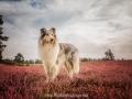 Hundemaedchen_Gaia_Langhaarcollie_52WochenHunde_Projekt2017_Collie (38)
